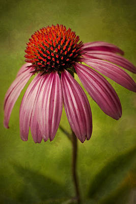 Mountain Landscape Royalty Free Images - Pink Coneflower Royalty-Free Image by Amy Jackson