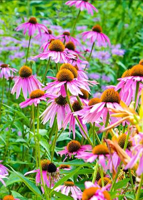 Photograph - Pink Coneflower by Kristin Hatt