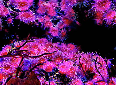 Photograph - Pink Coral Anemones by Russ Harris