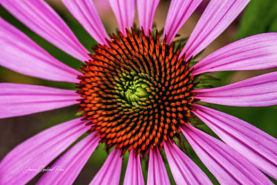 Photograph - Pink Cornflower by Joann Copeland-Paul