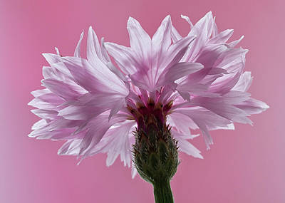 Photograph - Pink Cornflower by Shirley Mitchell