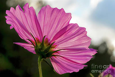 Photograph - Pink Cosmos Back by Barbara Bowen