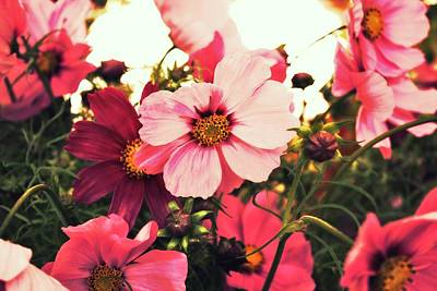 Pink Cosmos Art Print by Cathie Tyler