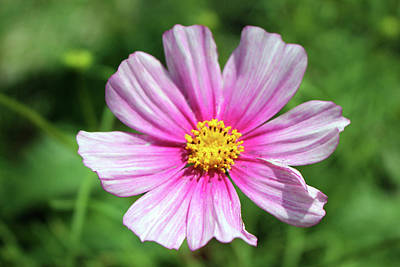 Photograph - Pink Cosmos  by Cynthia Guinn