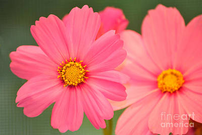Photograph - Pink Cosmos by Eric Liller