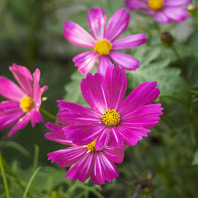Photograph - Pink Cosmos I Square by Marianne Campolongo