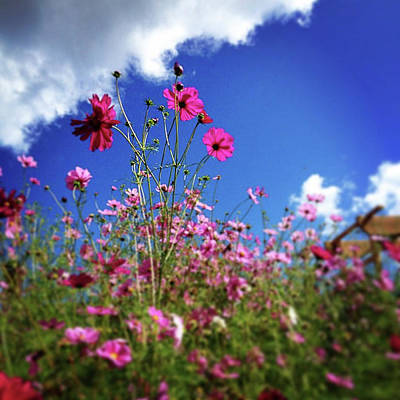 Photograph - Pink Cosmos by Mickey Stellavato