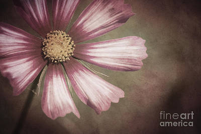 Photograph - Pink Cosmos Painting by Jim and Emily Bush
