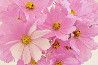 Floral Loveliness Photograph - Pink Cosmos Sonata  by Sandra Foster