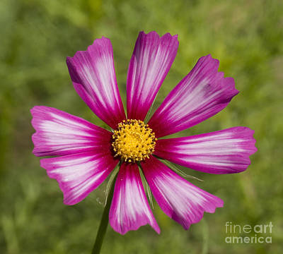 Photograph - Pink Cosmos Square by Jim And Emily Bush