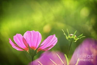Abstract Flowers Royalty-Free and Rights-Managed Images - Pink Cosmos by Veikko Suikkanen
