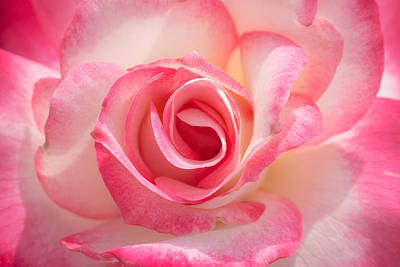 Flower Blooms Photograph - Pink Cotton Candy Rose by Ana V Ramirez