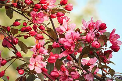 Photograph - Pink Crabapple Blossoms by Joni Eskridge