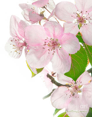 Photograph - Pink Crabapple Blissoms by David Perry Lawrence