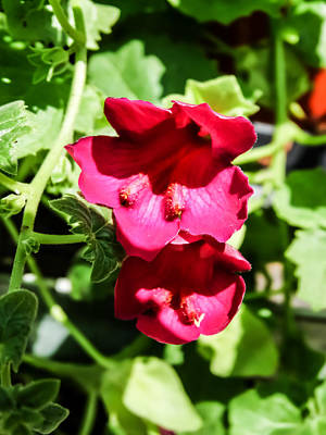 Gloxinias Photograph - Pink Creeping Gloxinia by Cynthia Woods