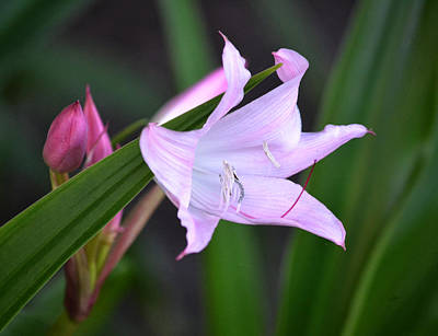 Photograph - Pink Crinum Lily by rd Erickson