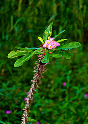 Photograph - Pink Crown Of Thorns by Robert Meyers-Lussier