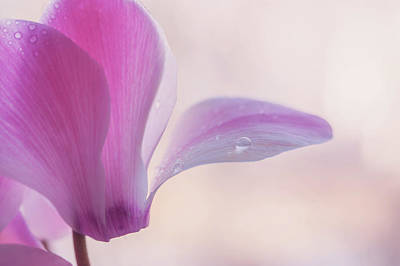Photograph - Pink Cyclamen Flower by Jenny Rainbow