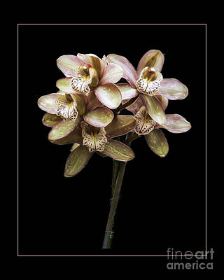 Photograph - Pink Cymbidium Orchid by Darleen Stry