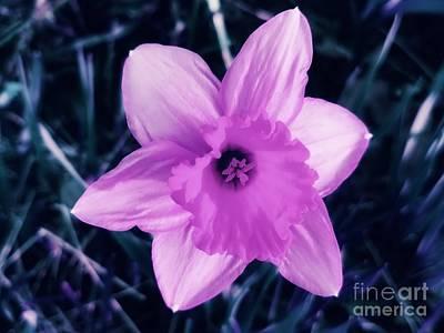 Photograph - Pink Daffodil  by Rachel Hannah