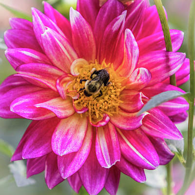 Photograph - Pink Dahlia Bee - Square by Patti Deters