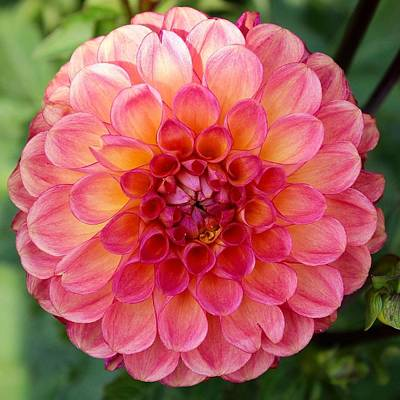 Photograph - Pink Dahlia by Brian Eberly