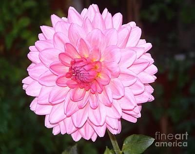 Dahlia Photograph - Pink Dahlia by Chere Lei