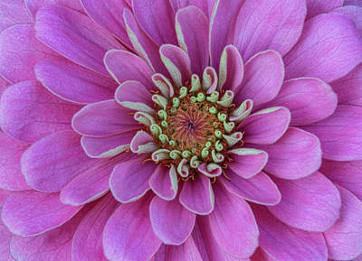 Art Print featuring the photograph Pink Dahlia by Dale Kincaid