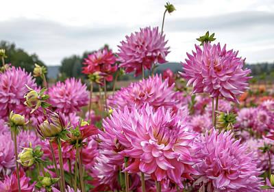 Photograph - Pink Dahlia Fields by Athena Mckinzie
