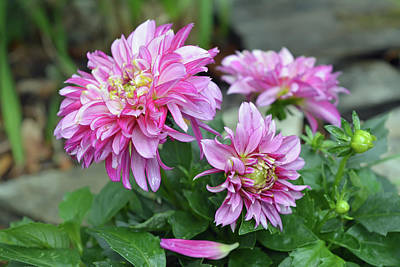 Photograph - Pink Dahlia Flowers by Aimee L Maher Photography and Art Visit ALMGallerydotcom