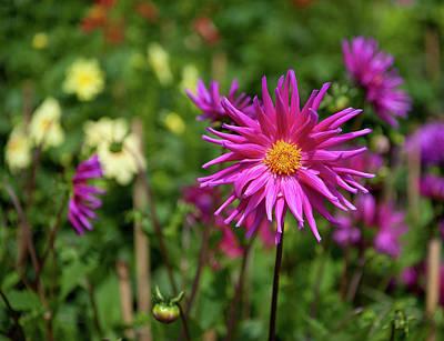 Photograph - Pink Dahlia by Helen Northcott