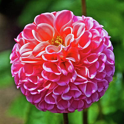 Photograph - Pink Dahlia In Golden Gate Park In San Francisco, California  by Ruth Hager