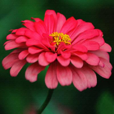 Pink Dahlia In Pastel Original