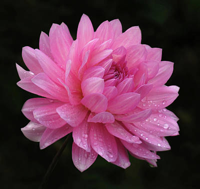 Photograph - Pink Dahlia by Inge Riis McDonald