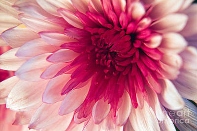Photograph - Pink Dahlia by Kelly Holm