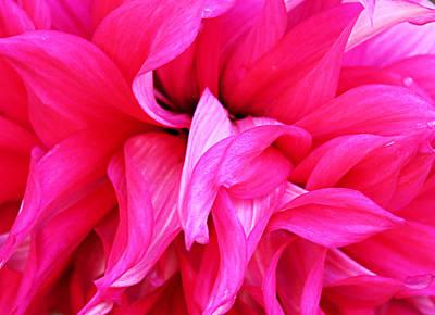 Photograph - Pink Dahlia by Kristin Elmquist