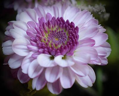 Photograph - Pink Dahlia by Lynda Anne Williams