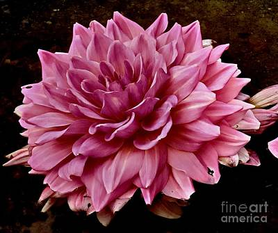 Photograph - Pink Dahlia by Marcia Lee Jones