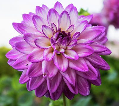 Floral Royalty-Free and Rights-Managed Images - Pink Dahlia by Martin Newman