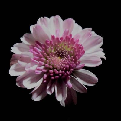 Photograph - Pink Dahlia On Black by Lynda Anne Williams