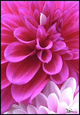 Pink Dahlia Print by Peggy Dietz