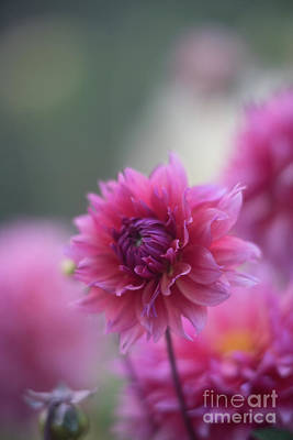 Photograph - Pink Dahlia Petals Ruffled by Mike Reid