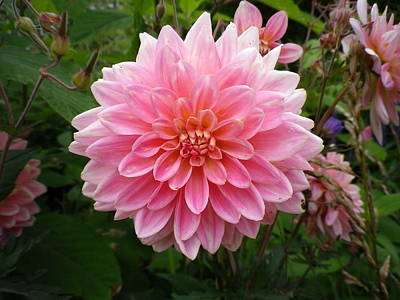 Photograph - Pink Dahlia by Richard Brookes