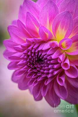 Photograph - Pink Dahlia by Sal Ahmed