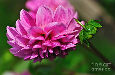 Photograph - Pink Dahlia With Baby Dahlia by Kaye Menner