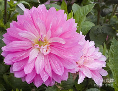Photograph - Pink Dahlias After The Rain by Sherry  Curry