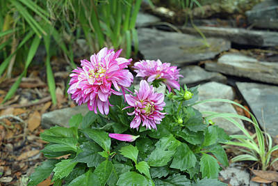Photograph - Pink Dahlias Blooming by Aimee L Maher Photography and Art Visit ALMGallerydotcom