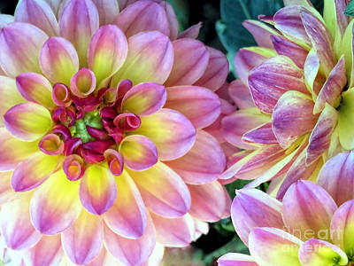 Photograph - Pink Dahlias  by Janice Drew