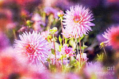 Photograph - Pink Dahlias by Jim And Emily Bush