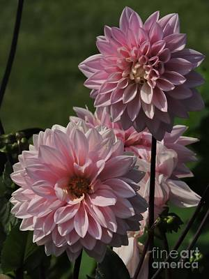Photograph - Pink Dahlias by Marcia Lee Jones